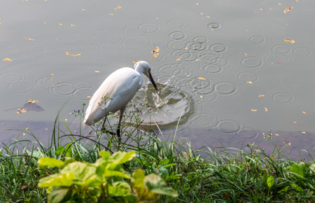 intermediate: One egret is fishing in the park.