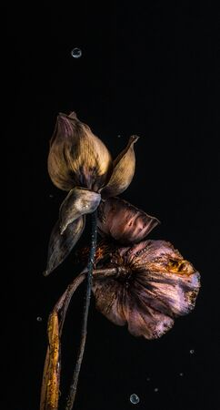 Beautiful dried lotus with water movment in studio Archivio Fotografico