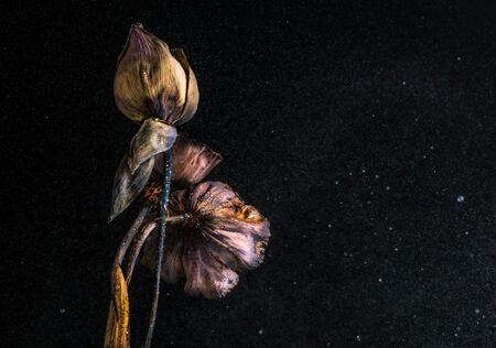 dry leaf: Beautiful dried lotus with water movment in studio Stock Photo