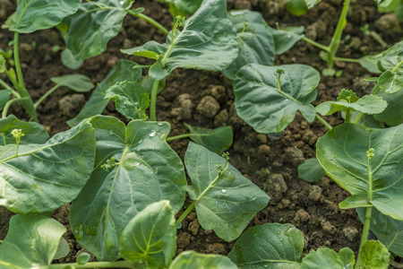 Growing vegetable in a farm Stock Photo