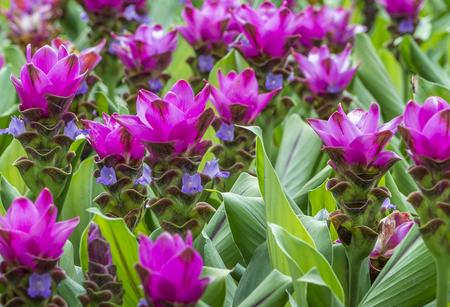 Beautiful flower of Asia