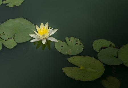 Beautiful lotus in garden Stock Photo
