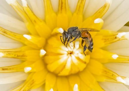 Bee on lotus flower in macro shot