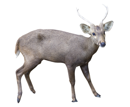 Isolated on white of deer Stock Photo