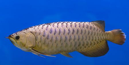 Silver Arowana fish Stock Photo