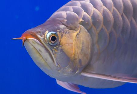 Close up Silver Arowana fish Stock Photo