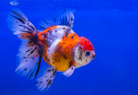 lionhead: Lionhead goldfish or lionhead goldfish with black spot