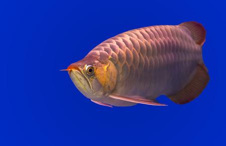 Gloden Arowana fish Stock Photo