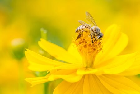 Macro Bee on yellow wild flower. Yellow Golden tone image. Stock Photo