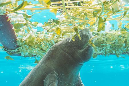 Al lado del manatí bajo el agua mientras se come Foto de archivo - 90863542