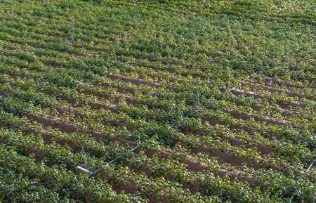 Organic vegetable farm in Thailand. Image from top view in day light without people. Water pipe in vegetable farm.