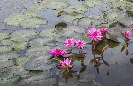 Beautiful vivid pink lotus in nature. Blossom pink lotus or water lilli in swamp. Space for text.