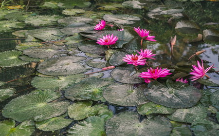 Beautiful vivid color lotus in nature. Blossom vivid pink lotus. Space for text in below of image.