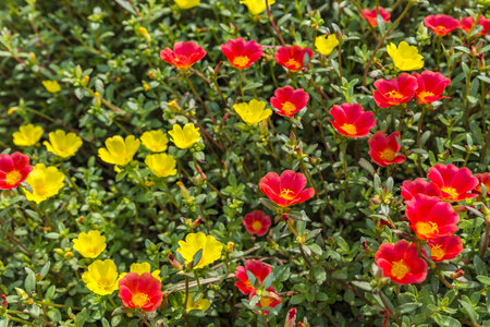 Background of small red and yellow flowers in the garden with day light. Vivid color in nature.