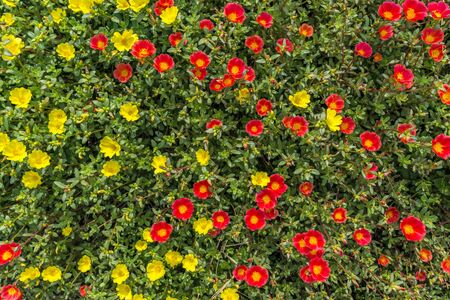 Top view small red and yellow flowers in the field. Daylight image with vivid color of flower in nature.