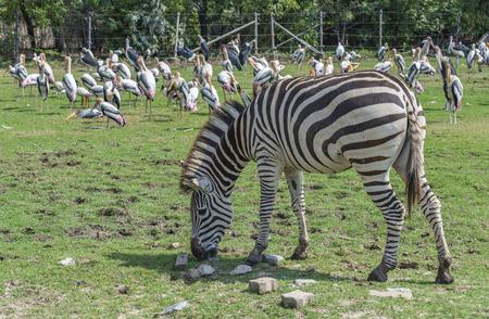 Zebra in open zoo. Zebra is eating grass, background of blurred pack of Malibu stork. Day light image.