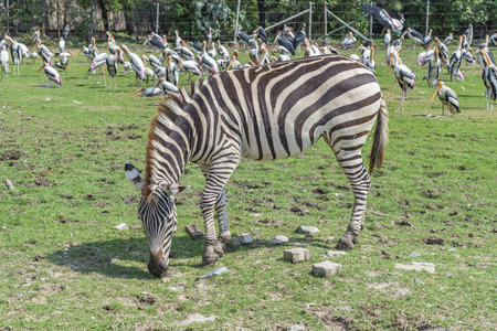 Zebra is eating green grass, background of blurred pack of Malibu stork. Sunny day in open zoo. Stock fotó