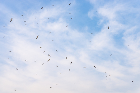 Many birds fly high in the blue sky with clouds, spreading their wings wide, searching for food. Low point of shooting.
