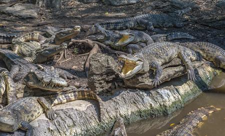 Pack of Crocodiles in a zoo ,Thailand. Many crocodiles has sun bath near water. Nature behavior of crocodiles.