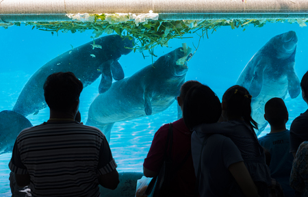 Manatee in a zoo of Thailand. People or tourists standing in front of show manatee in glass tank. Manatee eating food. People almost silhouette.
