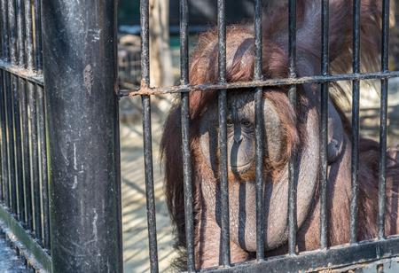 Image of a big orangutan orange monkey in the cage. Wild Animals in a zoo of Thailand. Poor orangutan in a zoo.