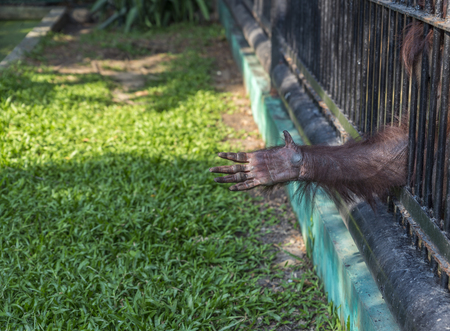 Hand of Orangutan try to reach to visitor or tourist frome the cage at a zoo. Wild Animals in a zoo of Thailand. Stock fotó