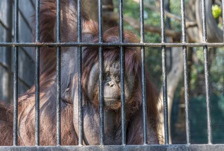 Big orange orangutan looking at camera. Eyes contact wiht big orangutan in the cage. Wild Animals in a zoo of Thailand. Stock fotó