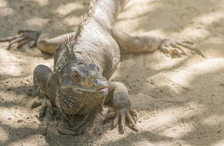 Close up iguana on the beach. Iguana looking aside. Selected focus and warm light. Stock Photo