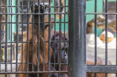 Orangutan sitting in cage, hand holds the cage. Selected focus. Stock Photo
