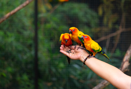 Beautiful group of Sun conure parrots are eating food on human hand. Stockfoto