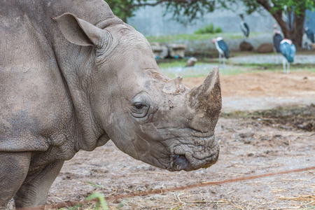Close up profile of Rhino or Rhinoceros head in a zoo. Imagens