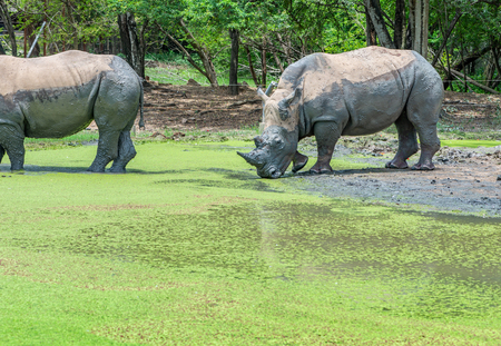 Rhino in a zoo. Rhino mud protection covering in hot day.