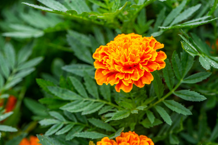 Close up Mexican marigold or close up beautiful flower Mexican marigold. Vivid color flower in garden.