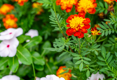Beautiful flower, Tagetes patula  in garden. Close up Tagetes patula  or marigold in garden