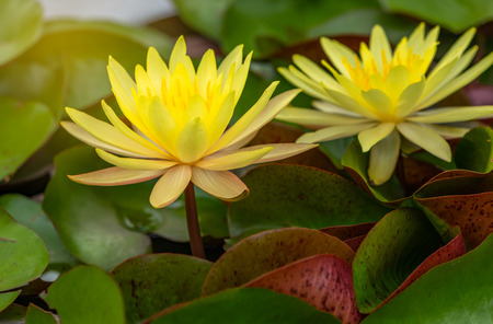 Close up bright yellow lotus in pond Stock fotó