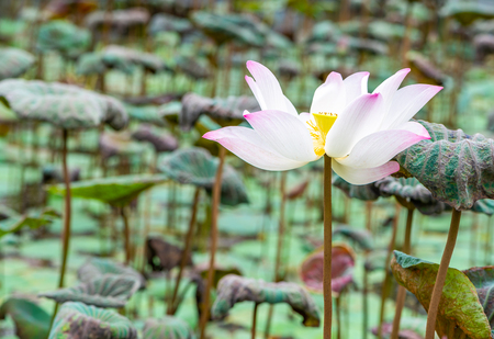 Beautiful white and pink lotus in pond of garden. One lotus in pond.