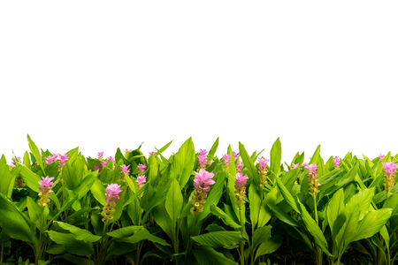 Isolated row of pink flower or pink Siam tulip. Isolated beautiful flower with white background.