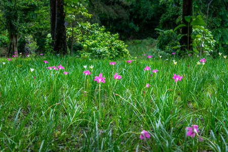 Grass field and pink flower or beautiful grass flower.