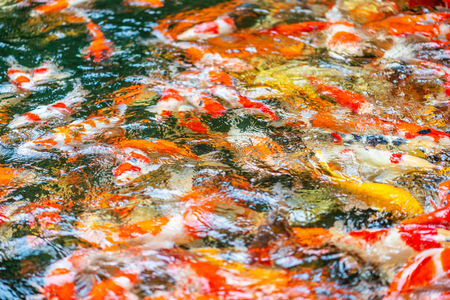 Blurred image background of fancy carps in pond