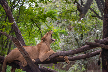 Lion yawning on tree. Lazy lion is yawning while resting on tree.