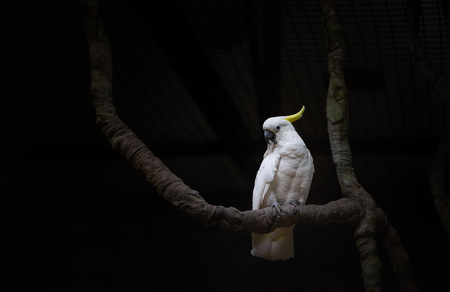 Beautiful white bird or Sulphur-crested cockatoo on tree. Dark tone with space for text. Stock fotó