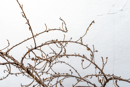 Close up dry brunch of plant on old white wall. Space for text. Stock fotó