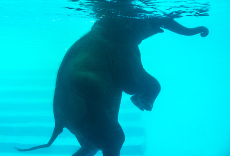 Elephant swimming in swimming pool. Elephant walking two legs in swimming pool. Stock fotó