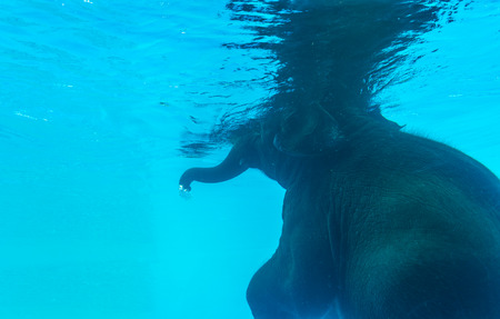 Back side of Elephant swimming in glass pool
