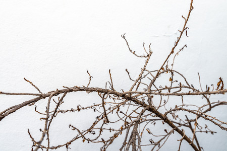 Close up dry brunch of plant on white wall. Space for text.