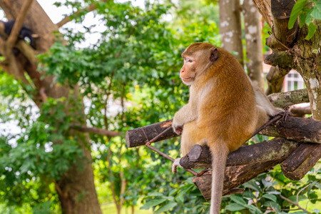 Back side of monkey on tree in an open zoo of Thailand. Monkey turn his head to look at back side. Stock fotó