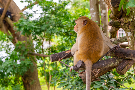 Back side of monkey on tree in an open zoo of Thailand. Monkey is looking something.