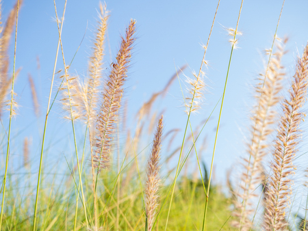 Close up wild grass with blue sky background.