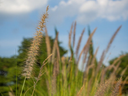 Close up beautiful wild grass and blue sky.