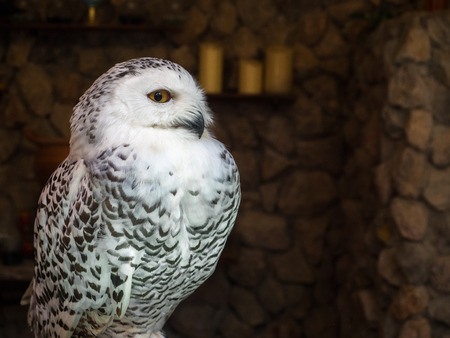 Close up a standing white owl.
